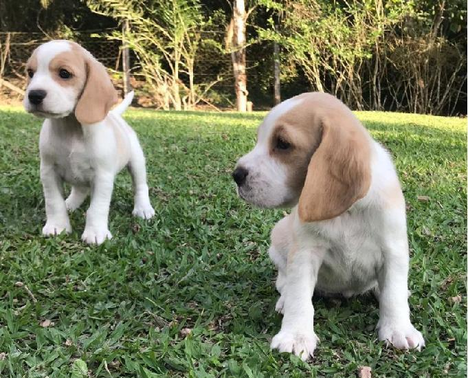 Canil enchantress beagle 13 polegadas filhotes disponíveis