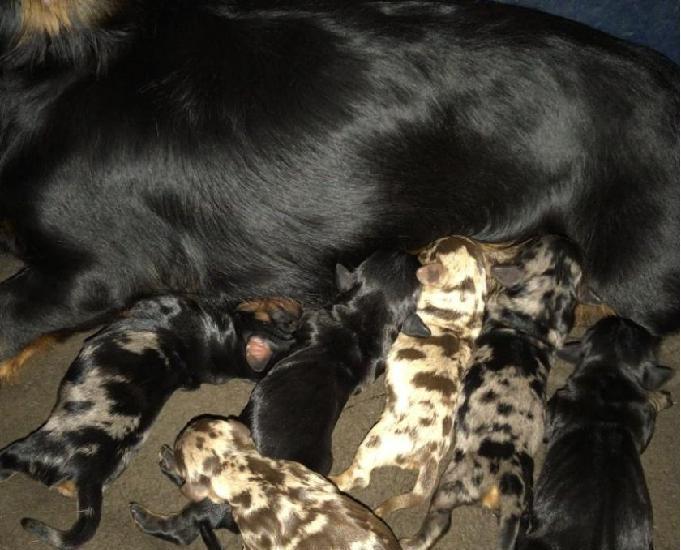 Canil enchantress filhotes de dachshund disponiveis