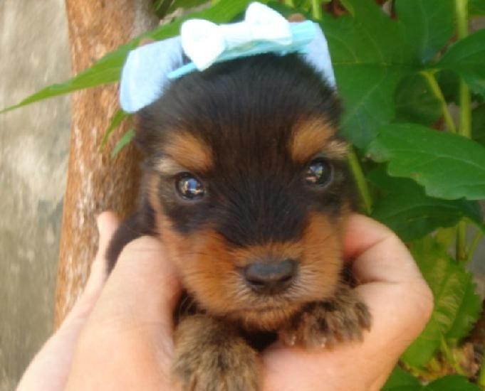 Filhotes macho a venda yorkshire terrier