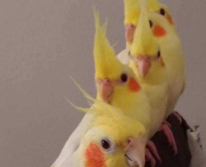 Calopsitas filhotes 100% mansas, aves top!!