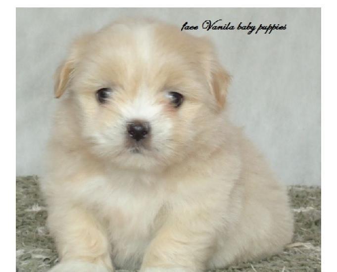 Lhasa apso vanila baby puppies filhotes pronta entrega