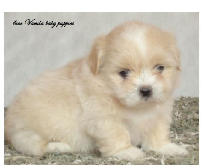 Lhasa apso vanila baby puppies rpocedencia valor justo !