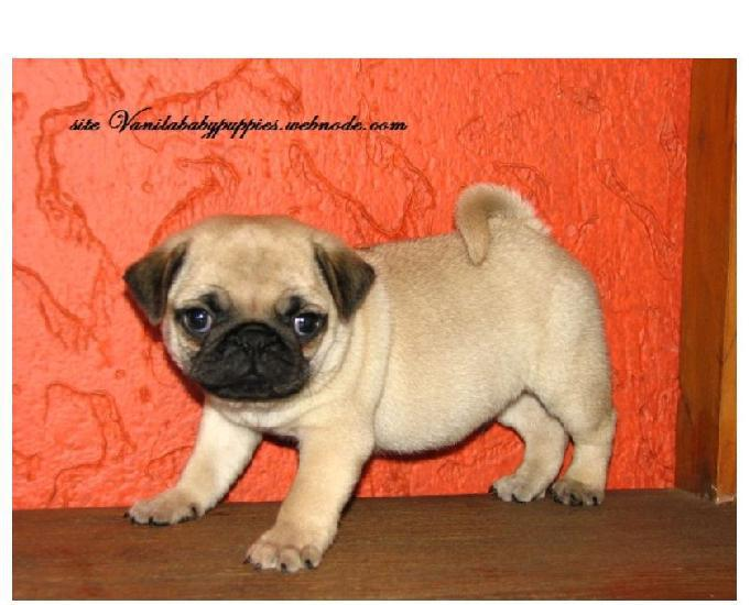 Pug vanila baby puppies procedencia valor justo