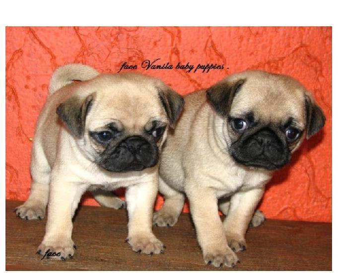 Pug vanila baby puppies procedência valor justo