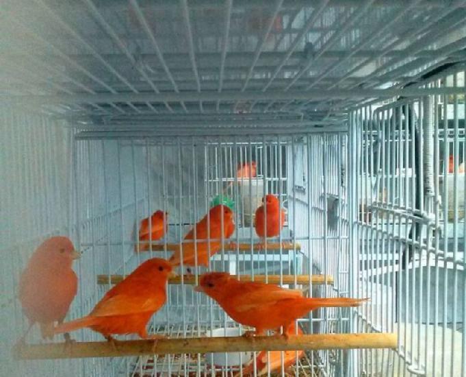 Canario de cor vermelho