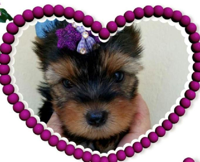 Disponiveis filhotes yorkshire terrier