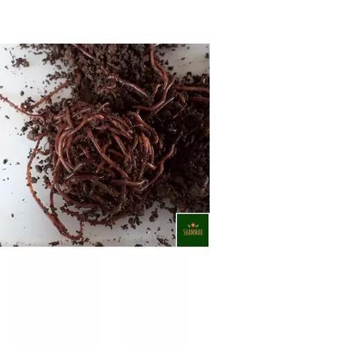 500 minhocas californianas p/pets,iscas,compostag