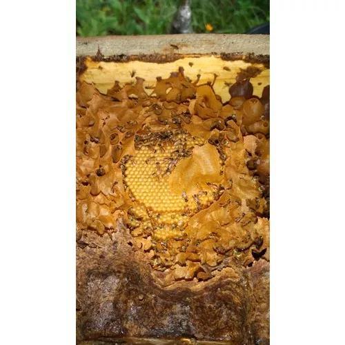 Enxame de jataí - abelha nativa s