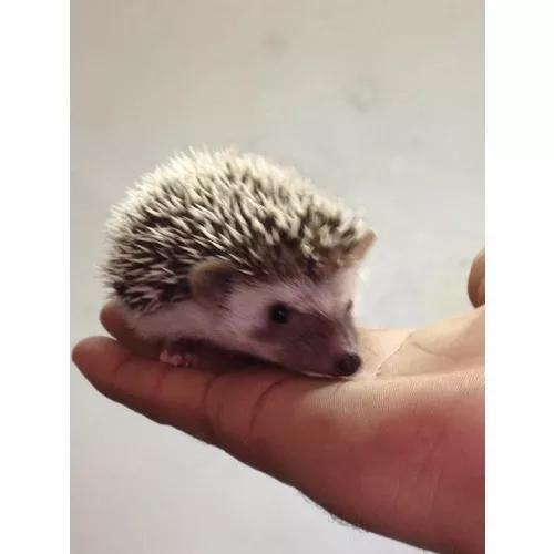 Ouriço - hedgehog