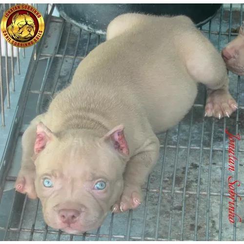 Filhote de american pitbull - pit monster - marrom - cinza