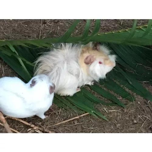 Porquinho da índia pelo longo loiro