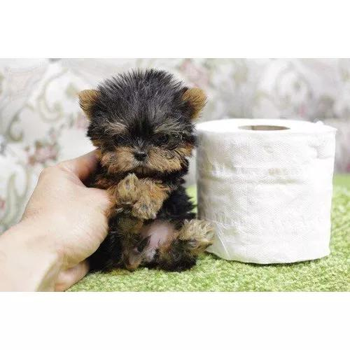 Yorkshire micro filhote macho de bolso minúsculo o menor