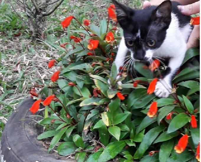 Doação de gato filhote fêmea 3 meses preto e branco