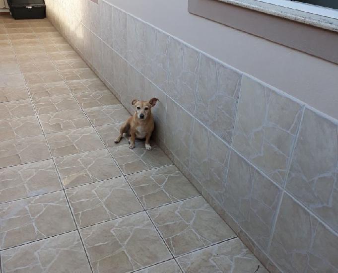 Cachorrinha adulta de porte pequeno