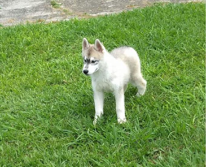 Vendo lindo filhote de husky siberiano fêmea