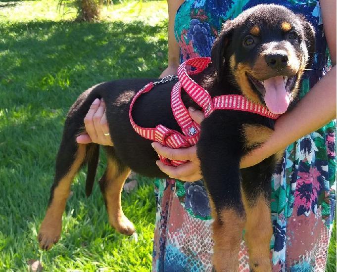 Rottweiler disponiveis rj canil especializado na raça