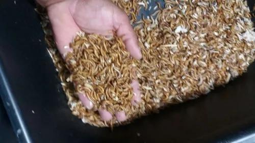 500 tenebrio molitor,fonte proteina,bicho do pão