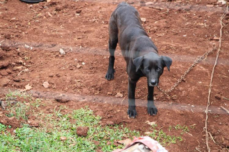 Cão de grande porte para adoção