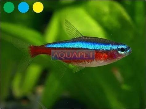 Peixe neon cardinal 50 unidades (paracheirodon axelrodi)
