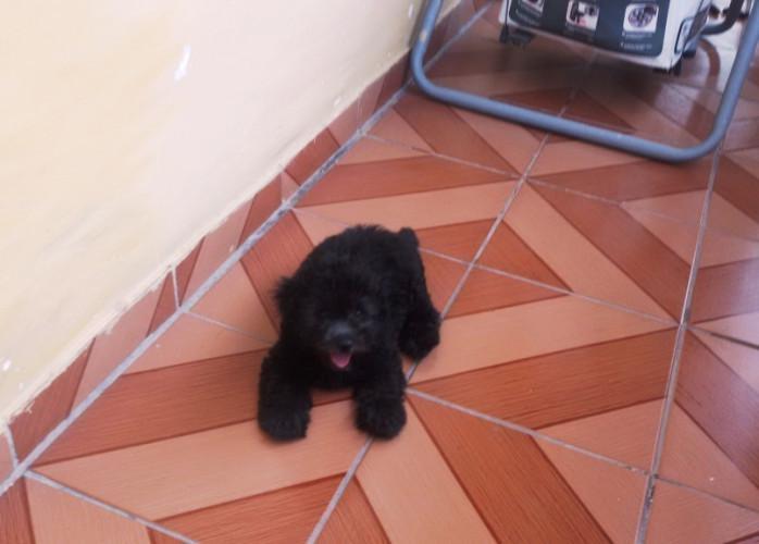Poodle toy filhote macho