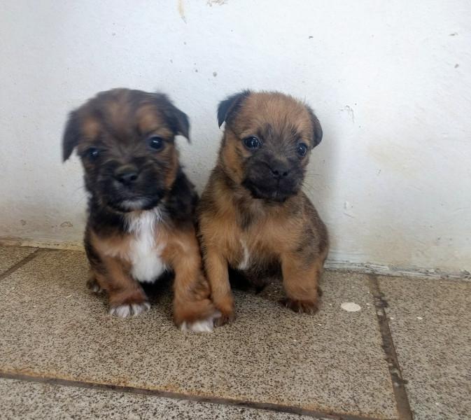 Vendo cachorrinhos de porte pequeno