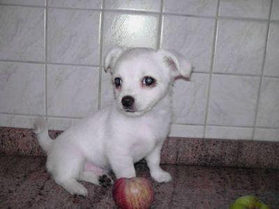 Cachorros de mini chihuahua