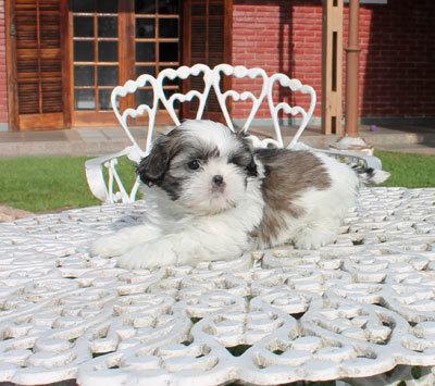 Canil puppy of life  vd filhotes shih tzu sp