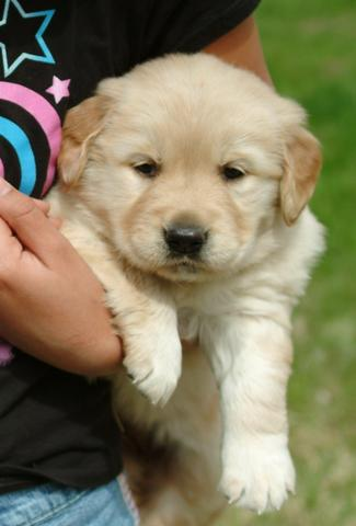 Charme de ouro retriever cachorros disponíveis
