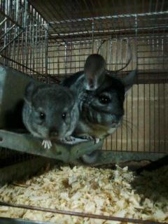 Criação de chinchilas com lindos animais