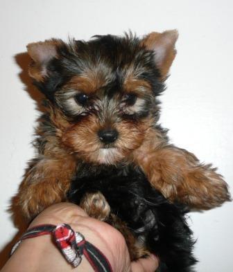 Feminino yorkshire terrier filhote com pedigree colocada