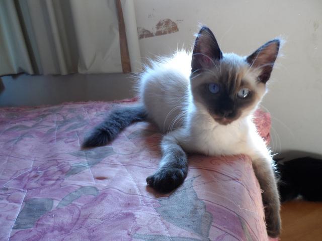 Filhotes gato ragdoll