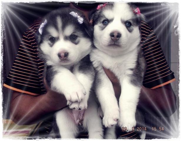 Filhotes de husky