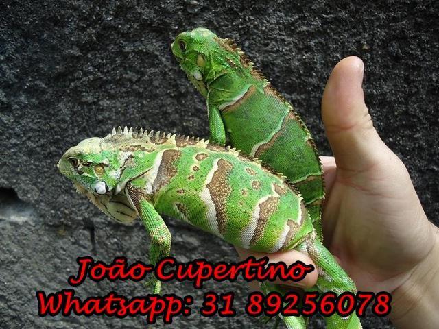 Filhotes de iguana,jabuti e tartaruga tigre d agua
