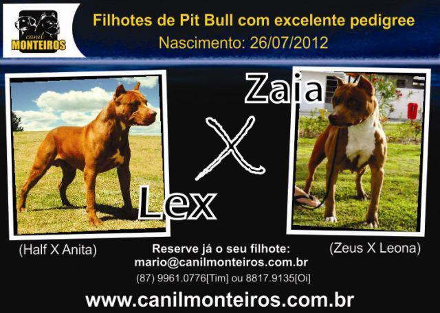 Filhotes de pit bull com pedigree