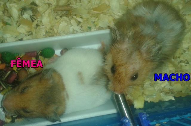 Hamster anão russo campbell