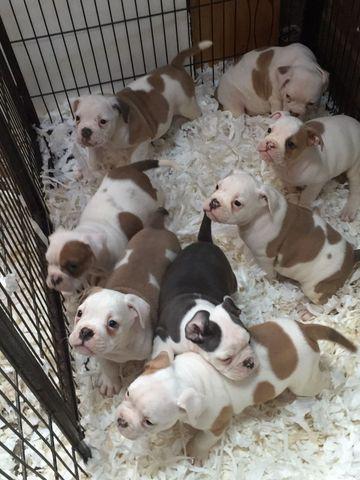Inglês bulldog bonito para filhotes de venda.
