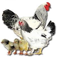 Ovos galados de galinhas brahma, polonesa, índio gigante