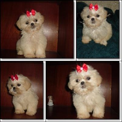Shih-tzu - lhasa apso - poodle