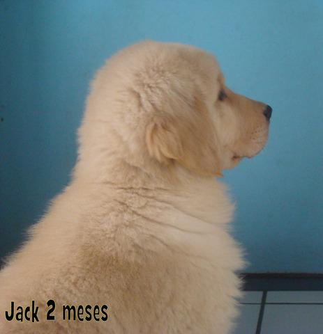 Vendo macho de golden retriever, linhagem nautilux fox