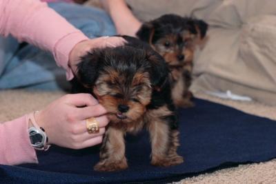 Yorkshire terrier macho para o natal