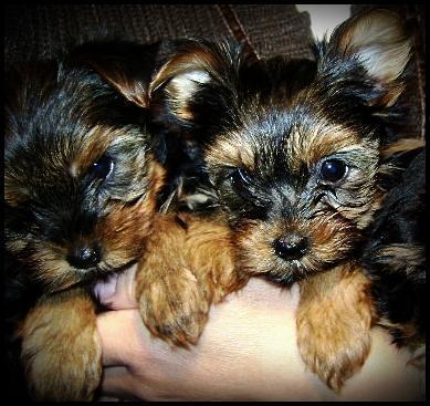 Filhotes de yorkshire terrier disponiveis a pronta entrega!!