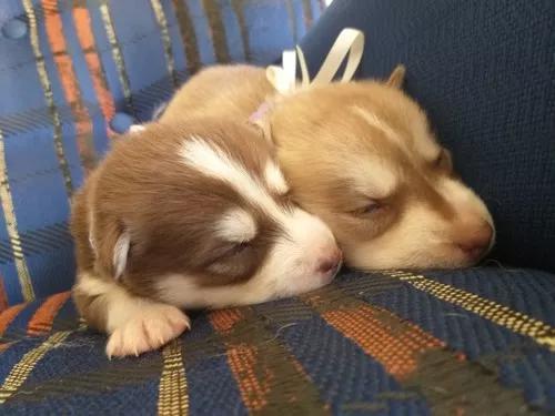 Filhotes de husky siberiano padrão/ cianorte pr.