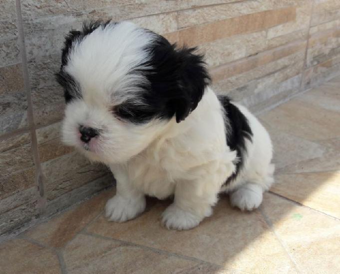 Vendo ou troco filhote lhasa apso