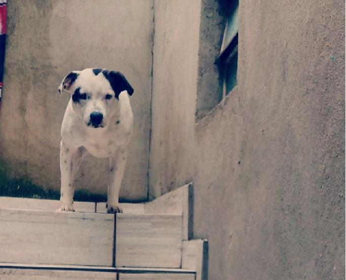 Cachorro misturado staffordshirull terrier com border collie