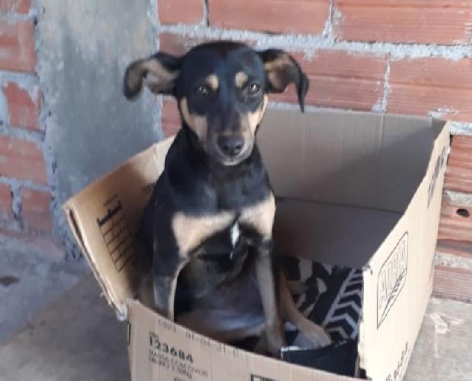 Doação cachorro fêmea castrado e vacinada