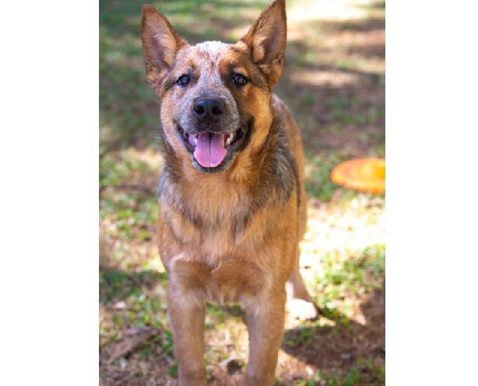 Australian cattle dog - macho red disponível!