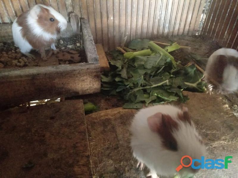 Porquinhos da Índia e coelhos 2