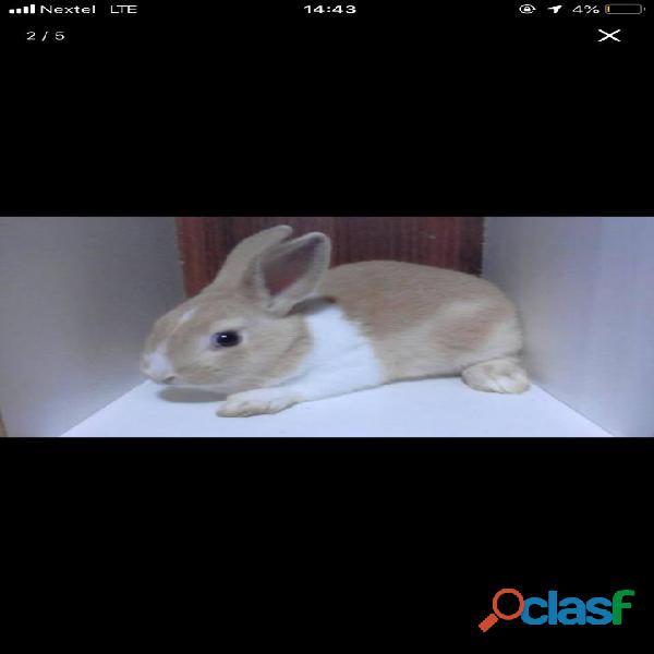 Porquinhos da Índia e coelhos 5