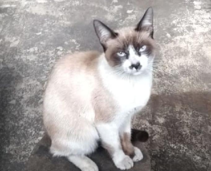 Doação de gato siamês olhos azuis fêmea