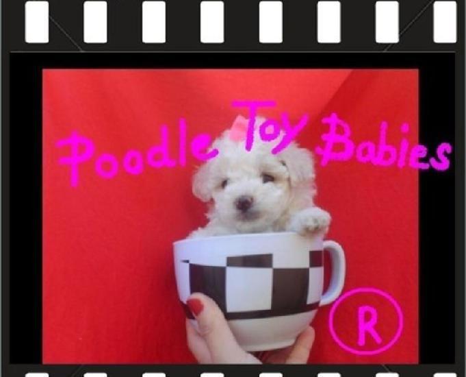 21) 9 8773-6397 (22) 9 8805-9406 poodle micro e poodle toy